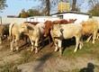 Cielaki i opasy Baltic Beef oferuje dla was odsadk