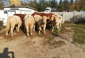 Byczki, mięsne opasy odsadki krzyżówki 1