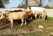 Byczki, mięsne opasy odsadki krzyżówki 2