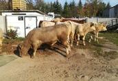 Byczki, mięsne opasy odsadki krzyżówki 3