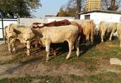Byczki, mięsne opasy odsadki krzyżówki 4