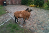 Owce, baran kameruński, reproduktor, sprzedam