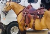 Piękne Bucksin Quater Horse Wałach