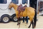 Piękne Bucksin Quater Horse Wałach 1
