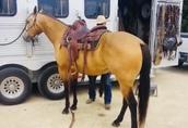 Piękne Bucksin Quater Horse Wałach 2