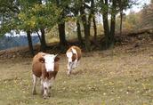 Odsadki Simental (SM), byczki, jałówki