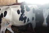 krowy sprzedam