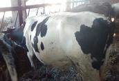 krowy sprzedam 2