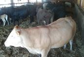 krowy sprzedam 3