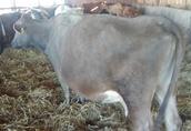 krowy sprzedam 4