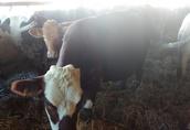 krowy sprzedam 5