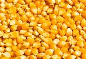 Kupię kukurydze mokrą