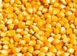 Kukurydza Kupię kukurydze mokrą z dostaw