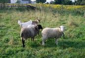 Sprzedam owce (zakolczykowane) - pilne!