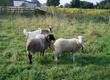Owce Witam w związku z konieczności