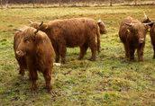 Highland bydło, krowa, szkocka rasa, EKO, 100% rasa