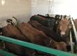 Cielaki i opasy W sprzedaży byczki odsadki 30 Szt