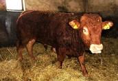 SPRZEDAM byka bezrożnego rasy Limousine czystorasowego.