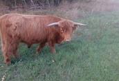 sprzedam dwa byki szkockie 1