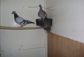 para golebi