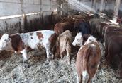 Byki opasy waga około 300 kg