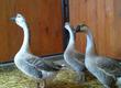 Pozostałe ptactwo Przyjmujemy zamówienia na kaczki