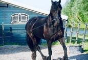 Koń fryzyjski na sprzedaż, dostępny teraz 2