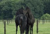 Koń fryzyjski na sprzedaż, dostępny teraz 3