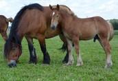 Skup bydła rzeźnego, koni małopolskie i Podkarpackie