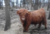 Byczek Highland - 1, 5 roku