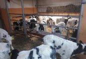 sprzedam byczki ras mięsnych i mieszanych!