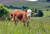 Zobacz i wybierz sam.Mięsne byczki i jałówki 250-350kg z Łotwi i Estonii 1