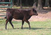 Zobacz i wybierz sam.Mięsne byczki i jałówki 250-350kg z Łotwi i Estonii 4