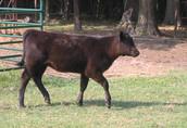 Zobacz i wybierz sam.Mięsne Byczki,jałówki 250-350kg-Łotwa,Estonia 4