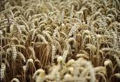 grunt rolny, ziemia rolna, pole rolne, pole orne, działka rolna
