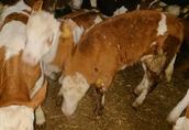 Jałóweczki i byczki mięsne tylko Polskie  1