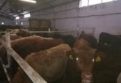 Zobacz i wybierz sam.Mięsne Byczki, jałówki 250-350kg-Łotwa, Estonia