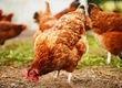 Kury nioski Doskonale odchowane młode kury