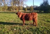 Jałówki Highland Cattle Wołowina Półtusza Ekologiczna