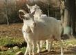 Kozy Sprzedam kozy matkę z córka