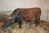 Krowa rasy BB