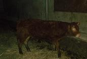 Byczki odsadki i jałówka