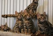 Dostępne piękne kocięta Bengal i Maine Coon