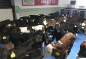 Krowy Zapraszam do Romanów 2 98-235 Błaszki nowo otwarta...