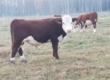 Byki rozpłodowe Sprzedam bydło hodowlane HEREFORD