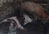 Byczki Simental 300 kg do dalszej hodowli