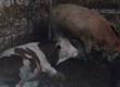 Cielaki i opasy Byczki Simental w wadze 300 kg