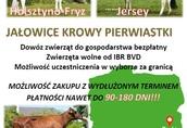 Jałówki i krowy pierwiastki z Litwy