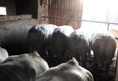 Sprzedam byki mięsne BBB limusine hereford charolaise chowane