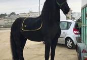 Piękna końska czarna klacz fryzyjska już dostępna